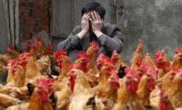 Premier cas d'une contamination humaine par la grippe aviaire H7N4 en Chine