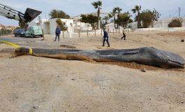 Un cachalot retrouvé échoué sur une plage en Espagne avec 29 kg de déchets plastiques dans l'estomac