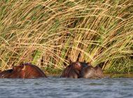 La bouse d'hippopotame tuerait des milliers de poissons chaque année en Afrique de l'Ouest