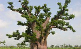 """Disparition """"spectaculaire"""" des plus vieux baobabs d'Afrique"""