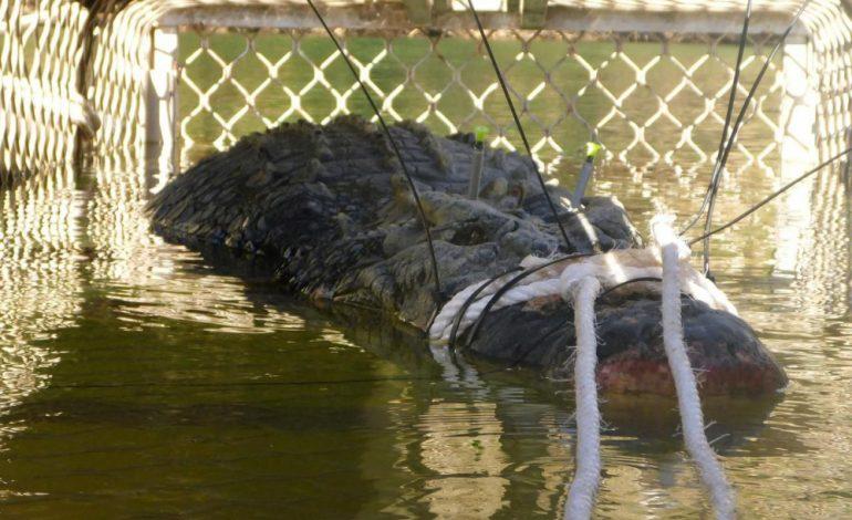 Huit ans pour capturer ce crocodile de 600 kg en Australie