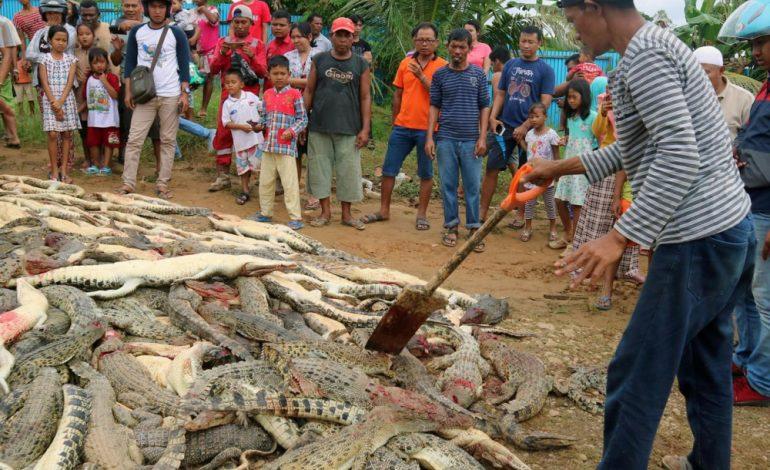 Près de 300 crocodiles massacrés par une foule en colère après la mort d'un habitant en Indonésie