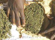 La douane au poste de Gouloumbou saisit plus de 915 kg de chanvre indien