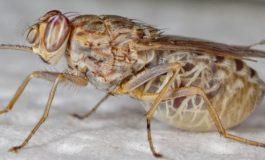 Comment la mouche tsé-tsé a été éradiquée au Sénégal