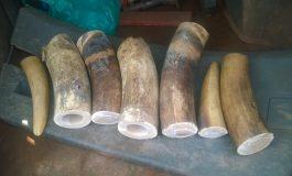 Des trafiquants d'ivoire venant d'Afrique condamnés à la prison à vie