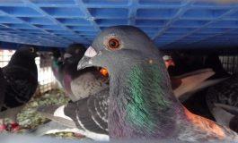 Un pigeon voyageur vendu 1,25 million d'euros en Belgique, record mondial