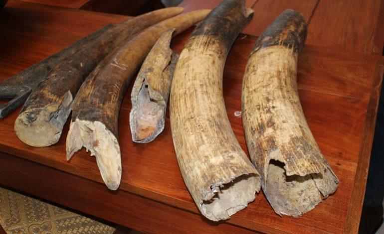 Délinquance faunique : des pointes d'ivoire saisies auprès de Amadou Tidiane Sall, un commerçant sénégalais à Ouesso