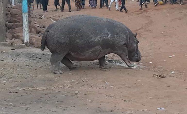 L'hippopotame abattu à Kédougou met en colère Moustapha Diakhaté