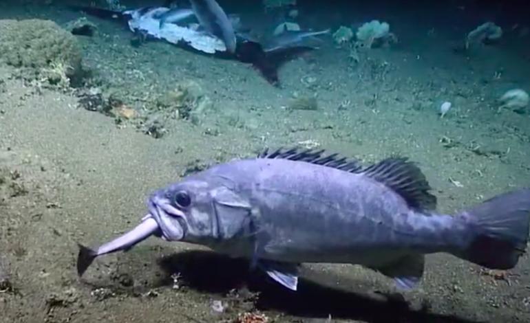 Un requin en train de dévorer un espadon se fait avaler vivant par un poisson