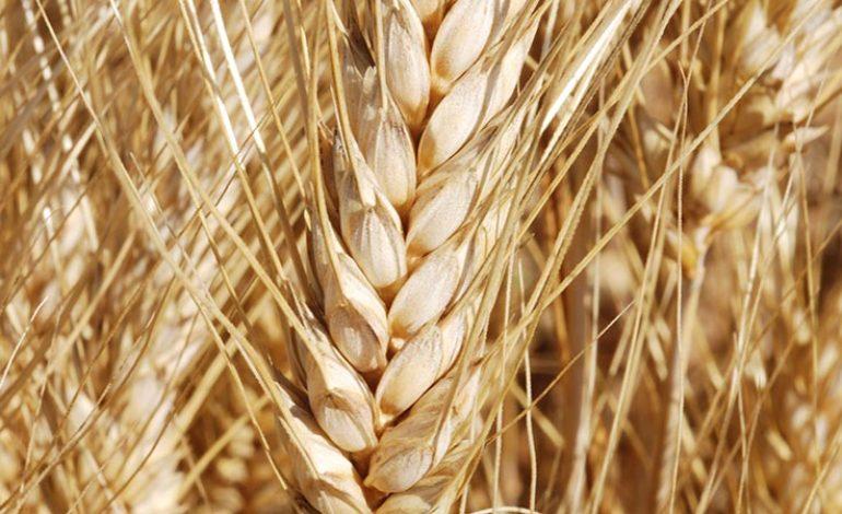 Huit nouvelles variétés de blé au Sénégal
