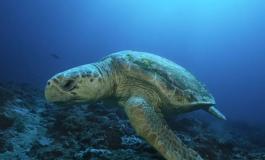 La rare tortue Caouanne, convoitée des braconniers sénégalais inquiète les défenseurs des animaux