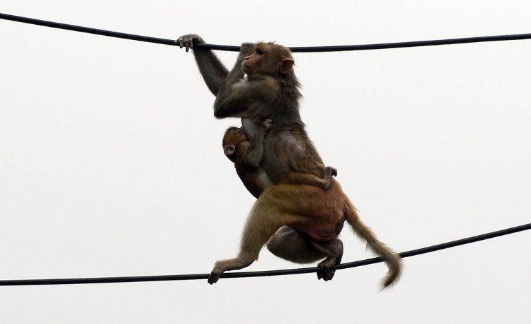 Des singes dérobent des échantillons de test sanguins pour le Covid-19