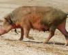 Un rein de porc transplanté avec succès pour la première fois sur l'homme