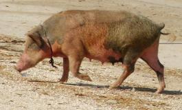 Un nouveau virus de grippe porcine découvert en Chine