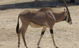 Transferts de gazelles Oryx dans une réserve privée du ministre Abdou Karim Sall: la licéité de la pratique en question