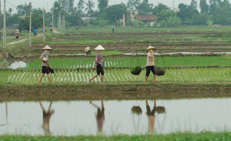 Les exportations de riz du Vietnam vers le Sénégal ont généré 32,6 millions de dollars US en 2019