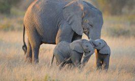 Le gouvernement met en vente 170 éléphants en raison de la sécheresse