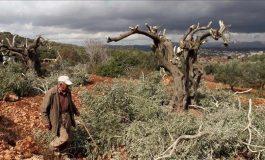 Des colons israéliens incendient 400 oliviers en Cisjordanie