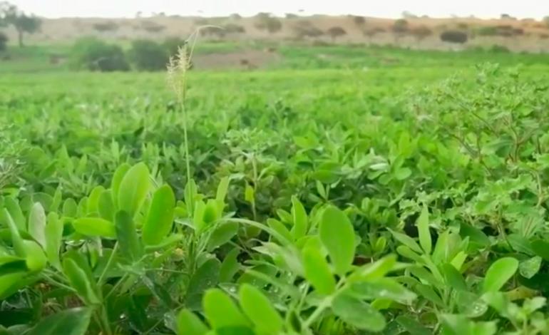 L'eucalyptus, un rempart écolo pour lutter contre la désertification au Sénégal