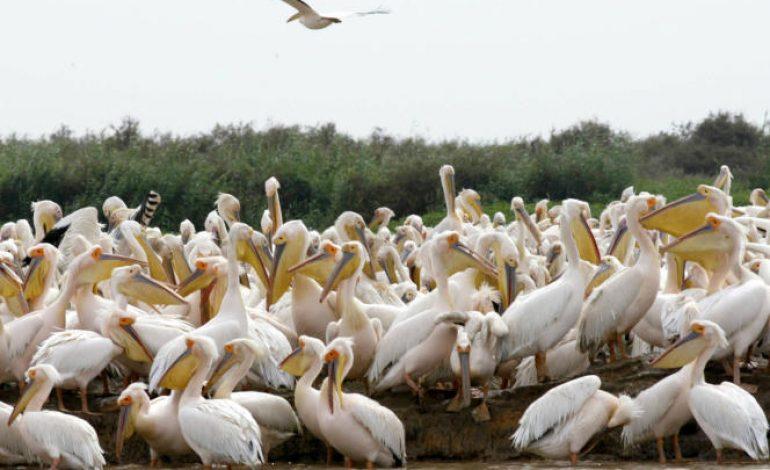 750 pélicans retrouvés morts au Parc de Djoudj