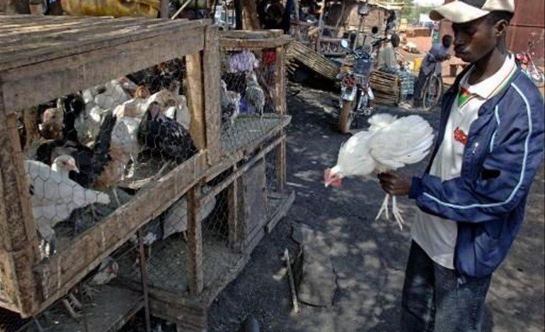 Plus de 40000 volailles abattues pour cause de grippe aviaire à Pout