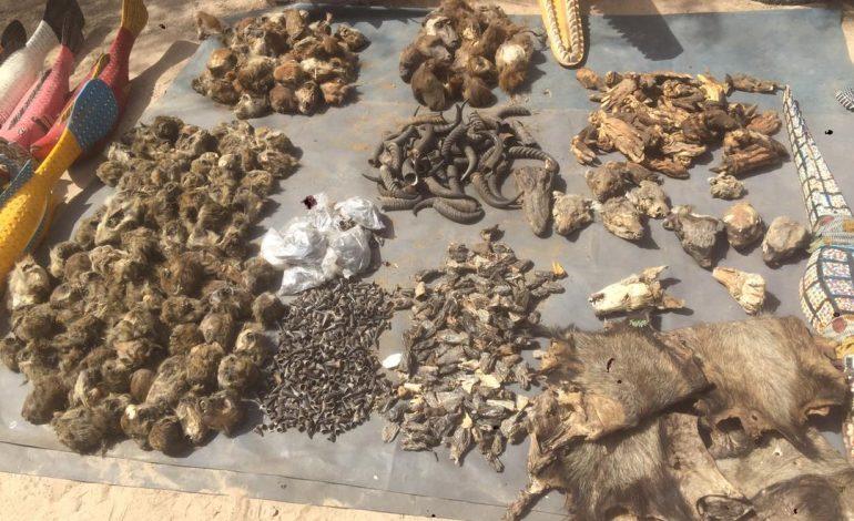 Des trophées d'animaux sauvages saisis à Kaolack dont 176 têtes de singes et 900 cornes de céphalophes