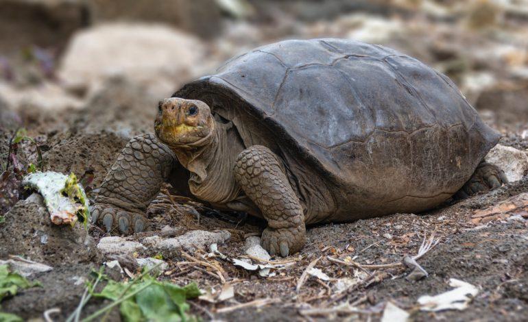 La tortue géante découverte aux Galapagos appartient bien à une espèce déclarée éteinte