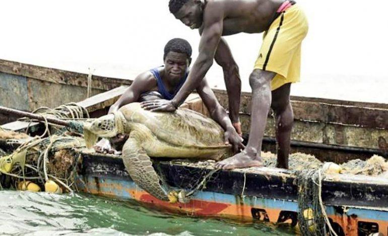 Ces menaces qui pèsent sur la survie des tortues marines au Sénégal