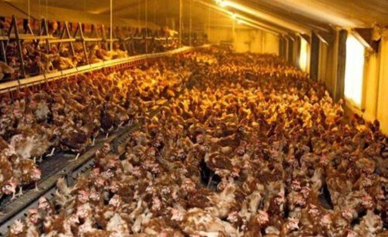 Pour cause de grippe aviaire, le Burkina interdit l'importation de la volaille en provenance du Bénin, du Togo et de la Côte d'Ivoire