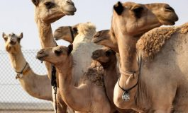 Des chameaux clonés à Dubaï pour gagner courses et concours de beauté