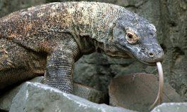 """""""Liste rouge"""" de la nature: le dragon de Komodo et de nombreux requins menacés"""
