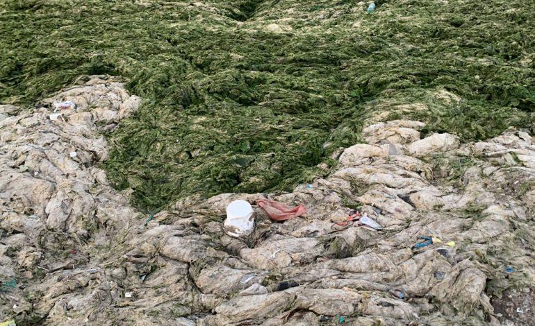 Une microalgue toxique découverte par les chercheurs de l'IRD sur les plages de la commune de Ngor