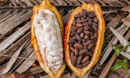 Le prix d'achat du cacao aux planteurs de Côte d'Ivoire fixé à 825 FCFA