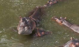 Les hippopotames de Pablo Escobar reconnus comme personnes légales aux États-Unis par un tribunal américain